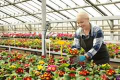 Mature woman taking care of blooming flowers. Home gardening stock photography