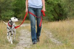 Mature woman is walking a dalmatian dog on a leash in nature en. Mature woman walks with a dog in summer in green nature environment stock photography