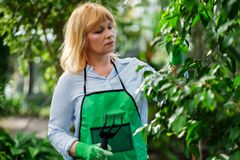 Mature woman working in a botanical garden.  royalty free stock photography