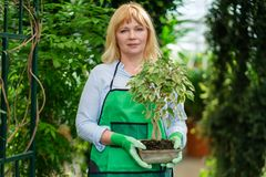 Mature woman working in a botanical garden.  royalty free stock image
