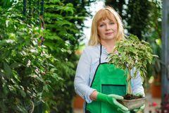Mature woman working in a botanical garden.  royalty free stock images