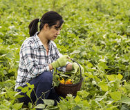 Mature women checking her basket of vegetables Royalty Free Stock Images