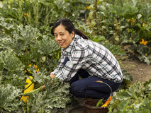 Mature Women picking yellow zucchini in Garden