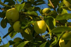 Mature yellow apples on a branch stock image