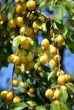 Mature yellow cherry plum (Prunus cerasifera).  stock photography