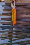 Mature yellow corn cob hanging on planks royalty free stock images