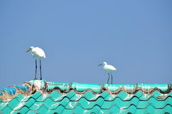 Mature and young Great White Egrets on roof Royalty Free Stock Image