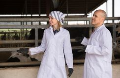 Veterinary working with cows in farm. Mature and young veterinary working with cows in farm Stock Images