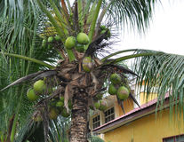 Matured coconut tree Royalty Free Stock Photos