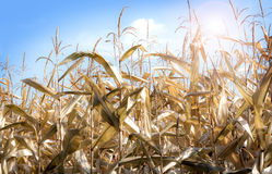 Matured corn field in autumn before harvest - agriculture. Matured corn field in autumn before harvest, close up while sunny day - agriculture Stock Photo