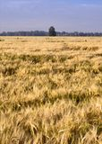 Matured field with a tree on the horizon - vertically. Mature field with ears of wheat. A tree in the distance against the background of the forest. Blue sky royalty free stock photo