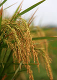 Matured golden paddy seeds Royalty Free Stock Images