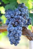 Matured grapes for good wine Royalty Free Stock Photography