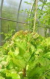 Matured green leaf lettuce Stock Photo