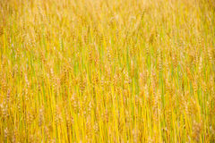 Matured highland barley Royalty Free Stock Photos