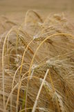 Matures barley Stock Photo
