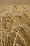 Matures barley Stock Photo