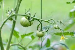 Maturi i pomodori naturali sul ramo Immagini Stock Libere da Diritti