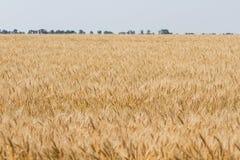 Maturi il giacimento di grano Immagine Stock Libera da Diritti