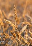 Maturi le grandi orecchie di grano nel campo di estate Immagine Stock Libera da Diritti