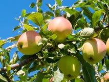 Maturi le mele su un ramo di albero Apple raccoglie nel frutteto di frutta in Okanagan immagini stock