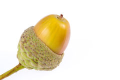 Maturing Acorn. In its acorn cup Stock Photography