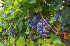 Maturing bunches of grapes on the vine closeup Royalty Free Stock Image
