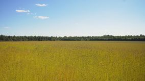 Summer landscape, a field of flax Stock Photo