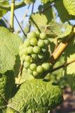 Maturing Green Grapes Royalty Free Stock Photo