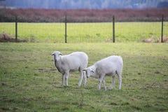 Maturing Lamb Stock Image