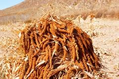 Maturing millet Stock Photos