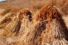 Maturing millet Stock Photo