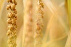 Maturing millet Stock Image