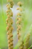Maturing millet Royalty Free Stock Photos