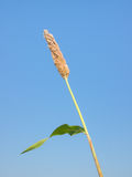 Maturing millet. View of maturing millet under clear blue sky Royalty Free Stock Images