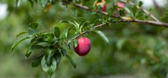 Maturing plum Stock Photo
