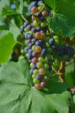 Maturing purple grape Stock Images