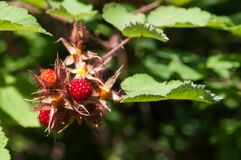 Maturing red raspberries on a thorny branch. In the woods Royalty Free Stock Photography