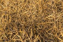 Maturité de graine de colza photographie stock