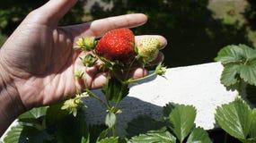 Maturité et fraises non mûres dans la main photographie stock