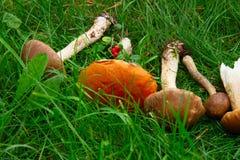 Maturo dei funghi Immagine Stock