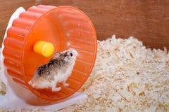 Mau comportamento do jogador dos entusiastas do hamster Imagens de Stock