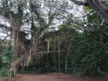 Mau& x27; I tropiskt avslappnande grönt fridsamt för Hawaii skog Royaltyfri Fotografi