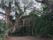 Mau& x27 ι πράσινος ειρηνικός χαλάρωσης της Χαβάης δασικός τροπικός Στοκ φωτογραφία με δικαίωμα ελεύθερης χρήσης