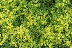 Mauerpfeffer Sedum-kamtschaticum Blumen Lizenzfreie Stockbilder