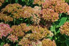 Mauerpfefferblumen lizenzfreie stockfotos