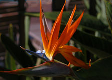 Maui Bird Of Paradise. Maui Hawaii royalty free stock photos