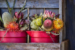Maui Farmstand Protea Flowers in Red Buckets. Brightly colored red, orange and green protea flowers  and eucalyptus in red buckets at a farmstand on the Stock Photo