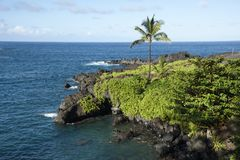 Maui-Küstenpalme entlang der schwarzen felsigen Küste Stockfotografie