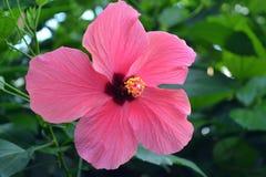 Maui nam bloem - lokelanibloem toe Royalty-vrije Stock Fotografie